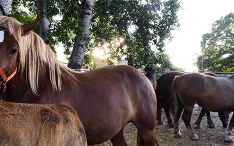 Il Cavallo Agricolo Italiano